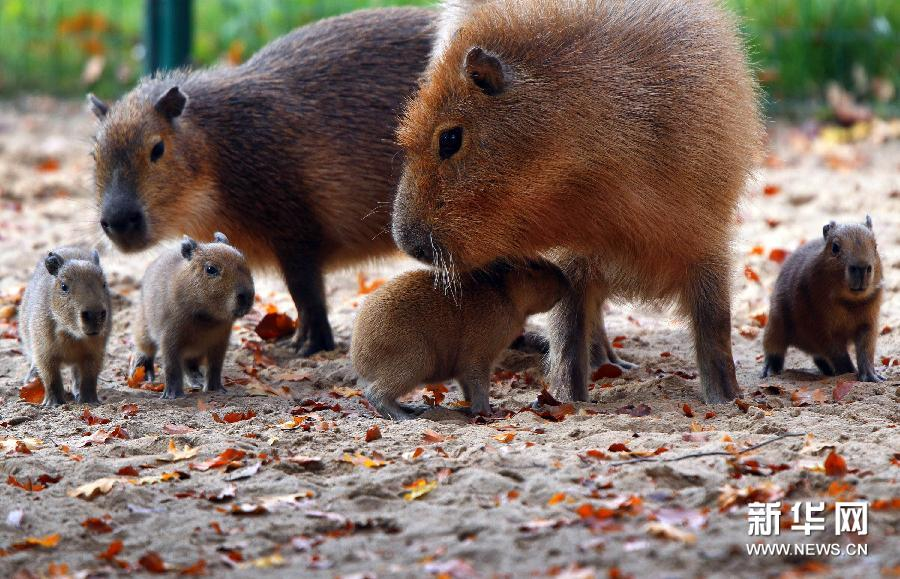 这些小水豚是11月1日在这个动物园内出生的. 新华社/法新