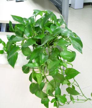 最原始的一种净化手段。利用特定植物的呼吸效应除去空气中的某些污染源,例如甲醛一类的化学污染物。但植物净化具有不可控性,被动性,效果难以保持工业化的稳定标准。