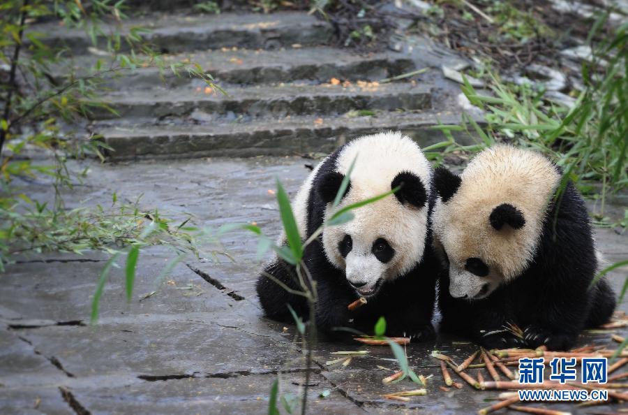 熊猫幼儿园的阳光午餐   11月17日,不顾细竹子的诱惑包围,一只幼年熊猫躺在地上吃着胡萝卜。位于四川省雅安市的中国保护大熊猫研究中心碧峰峡基地里有一所特殊的熊猫幼儿园,基地的工作人员在这里照料着十多只断奶后的幼年熊猫。入冬的中午迎来久违的阳光,幼年熊猫们集体出动晒太阳,个个懒洋洋的躺倒在地上吃着工作人员准备好的营养午餐,憨态可掬的模样引来游客们的阵阵欢笑。新华社记者 李桥桥