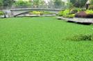福州内河水浮莲泛滥 河面如绿毯