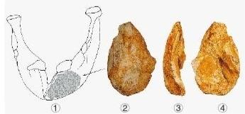 图剑齿象下颌骨示意图中阴影部位制成;图中可见长约6厘米的凹陷