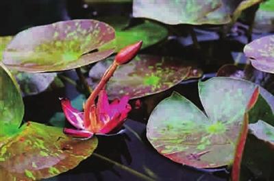 在白天开花的热带睡莲,它们叶片在长大和成熟过程中,叶脐突起长出小苗