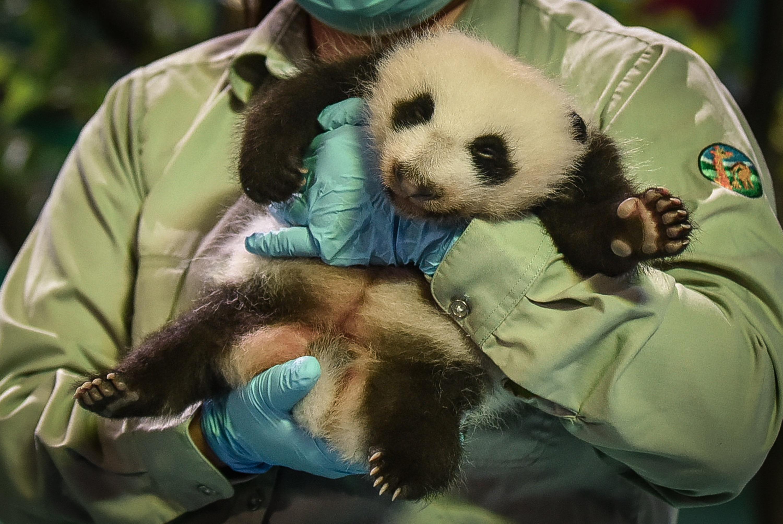 新华社照片,广州,2015年9月28日   国宝熊猫迎国庆   9月28日,广州长隆野生动物世界刚出生一个多月的大熊猫参加迎国庆活动。   当日,广州长隆野生动物世界举行国宝动物迎国庆活动,全球唯一存活的大熊猫三胞胎萌、帅、酷三姐弟、刚出生一个多月的大熊猫小五和世界多国国宝级动物齐聚一堂,迎接国庆节。   新华社记者 刘大伟 摄